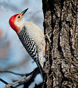 Stl Prints - Red-bellied Woodpecker Print by Nancy Helmer