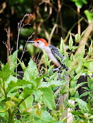 Paul  Wilford - Red Bellied Woodpecker