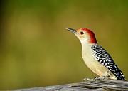 Sabrina L Ryan - Red Bellied Woodpecker