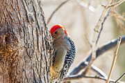 Wayne Stabnaw - Red-bellied Woodpecker