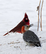 Red Birds In Snow Prints - Red Belly Woodpecker with Cardinal Print by Joe Granita