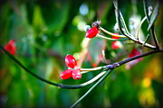 Carolyn Ricks Metal Prints - Red Berries Metal Print by Carolyn Ricks