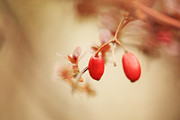 HJBH Photography - Red Berries