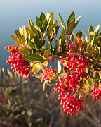 Kent Sorensen - Red Berry Bush in Winter