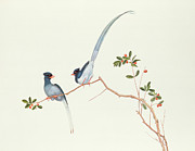 Ornithological Prints - Red Billed Blue Magpies on a Branch with Red Berries Print by Chinese School
