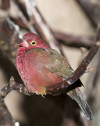 Gerald Murray Photography - Red Billed FireFinch