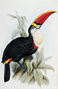 Exotic Drawings Posters - Red-Billed Toucan Poster by Edward Lear