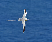 Trinidad Photos - Red-billed Tropicbird by Tony Beck