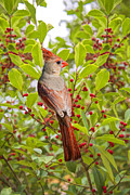 Red And Green Photo Posters - Red Bird Amidst Red Berries Poster by Bonnie Barry