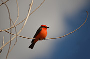 Rincon Road - Red Bird at Fort Lowell