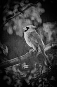 Bird On Tree Metal Prints - Red Bird In Black And White Metal Print by Lois Bryan