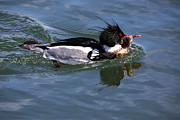 Gary Hall - Red-breasted Merganser...
