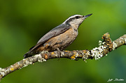 Jeff Goulden - Red Breasted Nuthatch in...