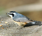 Lori Tordsen - Red-breasted Nuthatch