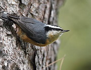 Steve Wolfe - Red-breasted Nuthatch