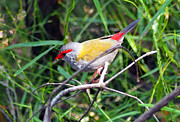 Justin Woodhouse - Red Browed Finch