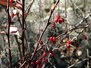 Sandee Gass - Red Buckbrush Berries