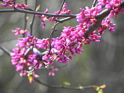 Red Bud Trees Prints - Red Bud branch Print by Tom Ernst