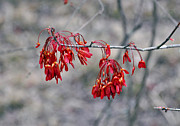 Kay Lovingood Art - Red Buds by Kay Lovingood