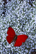 Red Bouquet Posters - Red butterfly and Babys Breath Poster by Garry Gay