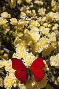 Insects Posters - Red butterfly at rest Poster by Garry Gay