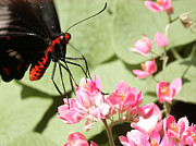 Feeding Photographs Prints - Red Butterfly Print by Brian Grzelewski