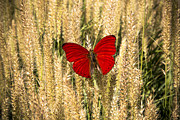 High Key Posters - Red Butterfly In The Tall Weeds Poster by Garry Gay