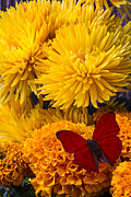 Marigolds Posters - Red butterfly on African Marigold Poster by Garry Gay
