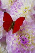 Dahlias Framed Prints - Red butterfly on dahlias Framed Print by Garry Gay