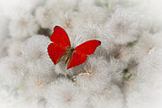 Fluff Posters - Red Butterfly on Flower Fluff Poster by Garry Gay