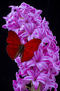 Garry Gay - Red Butterfly On Pink...