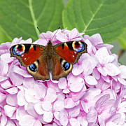Lepidoptera Photos - Red Butterfly On Pink Hydrangea by Antony McAulay