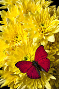 Red Bouquet Framed Prints - Red butterfly on poms Framed Print by Garry Gay