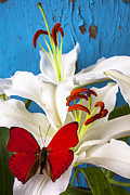 Whites Posters - Red butterfly on white tiger lily Poster by Garry Gay