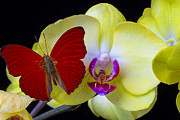 Pretty Orchid Prints - Red butterfly on yellow orchid Print by Garry Gay