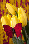 Tulip Prints - Red butterfly resting on tulips Print by Garry Gay