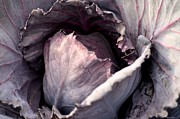Red Cabbage Print by Maria Urso