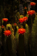 Red Cactus Flower Prints - Red Cactus Flowers II  Print by Saija  Lehtonen
