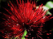 Ruediger Helmreich - Red Calliandra