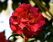 Camellia Japonica Posters - Red Camellia Japonica Poster by Double B Photography Carol Bradley