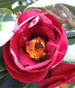 Garden Art - Red camellia with bees by Zulfiya Stromberg