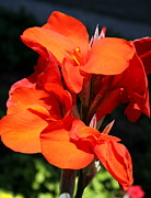 Canna Photos - Red Canna  by Christiane Schulze