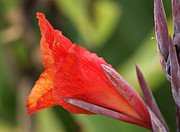 Canna Framed Prints - Red Canna Framed Print by David Birchall