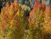 Margaret  Slaugh - Red Capped Aspens