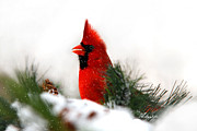 Snowing Digital Art Prints - Red Cardinal Print by Christina Rollo