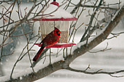 Carolyn Pettijohn - Red Cardinal enjoying...