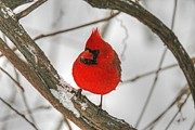 Cardinals. Wildlife. Nature. Photography Posters - Red Cardinal Poster by Michael Allen