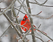 Cardinals. Wildlife. Nature. Photography Posters - Red Cardinal Northern Bird Poster by Peggy  Franz