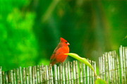 Bamboo Fence Photo Posters - Red cardinal on an old bamboo fence Poster by Lehua Pekelo-Stearns