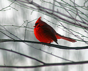 Red Cardinal On Winter Branch  Print by Karen Adams